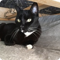 Domestic Shorthair Cat for adoption in Novato, California - Mellie