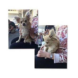 Pomeranian/Chihuahua Mix Dog for adoption in South San Francisco, California - Charlie