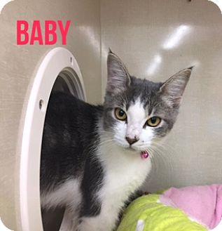 Domestic Shorthair Cat for adoption in Glendale, Arizona - BABY
