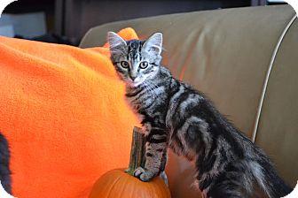 Domestic Shorthair Kitten for adoption in Manhattan, Kansas - Chloe