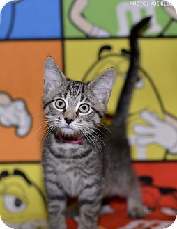 Domestic Shorthair Kitten for adoption in Medina, Ohio - Baby Spice