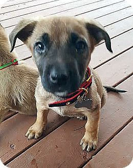 German Shepherd Dog/Retriever (Unknown Type) Mix Puppy for adoption in Detroit, Michigan - Tinsel-Adopted!