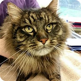 Maine Coon Cat for adoption in Lincoln, California - Action Jackson