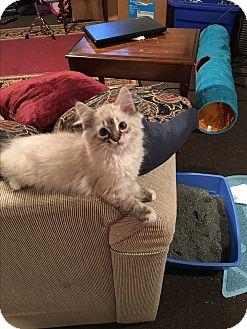 Siamese Kitten for adoption in Warren, Michigan - Venus