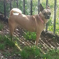 Chihuahua Mix Dog for adoption in Pompton Lakes, New Jersey - Jesse