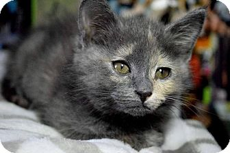 Domestic Mediumhair Kitten for adoption in Mansfield, Texas - Violet