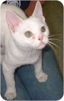 Domestic Shorthair Cat for adoption in Warwick, New York - Smeegle