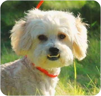 Lhasa Apso/Poodle (Miniature) Mix Dog for adoption in San Clemente, California - Chance