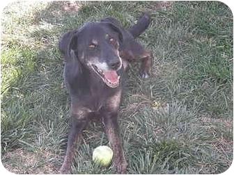 Labrador Retriever Mix Dog for adoption in Meridian, Idaho - Tiffie
