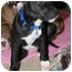 Photo 3 - American Staffordshire Terrier/Staffordshire Bull Terrier Mix Puppy for adoption in Berea, Ohio - Frankie-Courtesy Post