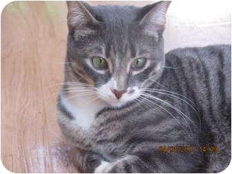 Domestic Shorthair Cat for adoption in St. Louis, Missouri - Doug