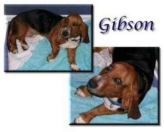 Basset Hound Dog for adoption in Marietta, Georgia - Gibson