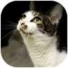 Domestic Shorthair Cat for adoption in Westbrook, Maine - Josie