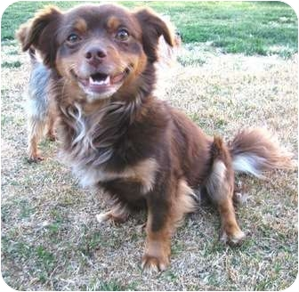 Chihuahua/Spaniel (Unknown Type) Mix Dog for adoption in Winnetka, California - LITTLE RED
