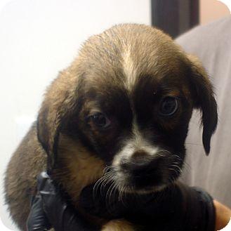 Beagle Mix Puppy for adoption in Manassas, Virginia - Oasis