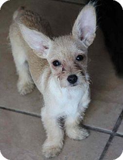 Terrier (Unknown Type, Small)/Dachshund Mix Puppy for adoption in Yuba City, California - Odie