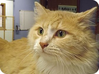 Domestic Longhair Cat for adoption in Murphysboro, Illinois - Vuitton