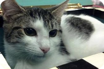 Domestic Shorthair Kitten for adoption in Columbus, Georgia - Hot Chocolate 1C11