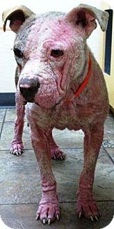 English Bulldog/American Pit Bull Terrier Mix Dog for adoption in Gilbert, Arizona - Samson