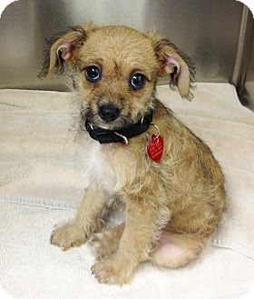 Chihuahua/Terrier (Unknown Type, Small) Mix Puppy for adoption in Los Angeles, California - AVRIL