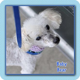 Poodle (Miniature) Mix Dog for adoption in Corpus Christi, Texas - Baby Bear