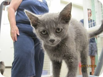 Russian Blue Kitten for adoption in Collinsville, Oklahoma - Princess