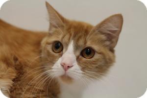 Domestic Shorthair Cat for adoption in Sacramento, California - Summer