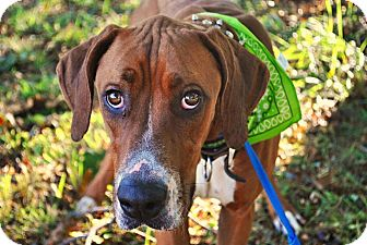 Great Dane Mix Dog for adoption in Manassas, Virginia - Ace