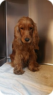 Cocker Spaniel Dog for adoption in Seneca, South Carolina - Thunder $350