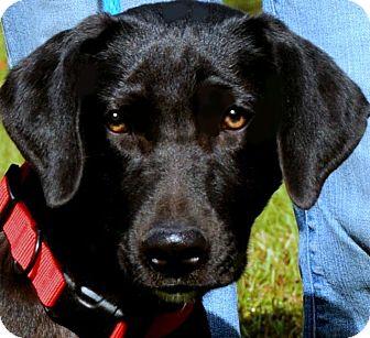 Labrador Retriever Puppy for adoption in Wakefield, Rhode Island - TOBY(GORGEOUS LAB PUPPY!!!