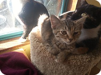 Domestic Shorthair Kitten for adoption in Morgantown, West Virginia - Petunia