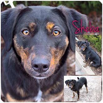 Labrador Retriever/German Shepherd Dog Mix Dog for adoption in Garden City, Michigan - Sheba