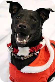 Labrador Retriever/Whippet Mix Dog for adoption in Chester, Maryland - Marley