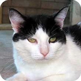 Domestic Shorthair Cat for adoption in Phoenix, Arizona - Sassy