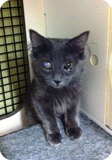 Domestic Shorthair Kitten for adoption in East Meadow, New York - Emily