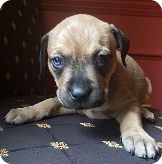 Labrador Retriever/Boxer Mix Puppy for adoption in Rochester, New Hampshire - Zorra