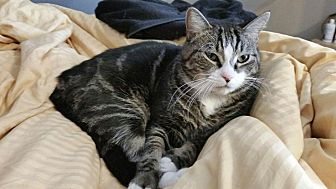 Domestic Shorthair Cat for adoption in Richboro, Pennsylvania - Charlie