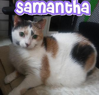 Domestic Shorthair Cat for adoption in Trevose, Pennsylvania - Samantha