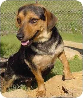 Beagle/Dachshund Mix Dog for adoption in Brenham, Texas - Betsy