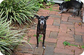 Chihuahua Dog for adoption in wilson, North Carolina - ~~BEBE