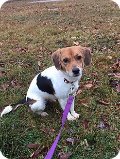 Hound (Unknown Type)/Retriever (Unknown Type) Mix Dog for adoption in Billerica, Massachusetts - Lulu
