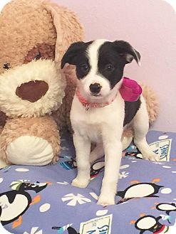 Terrier (Unknown Type, Small) Mix Puppy for adoption in Fort Atkinson, Wisconsin - Sammy
