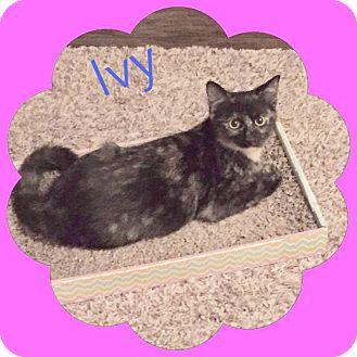 Domestic Shorthair Kitten for adoption in Arlington/Ft Worth, Texas - Ivy