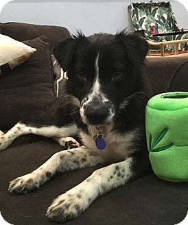 Border Collie Mix Dog for adoption in San Pedro, California - ALLY (Courtesy List)