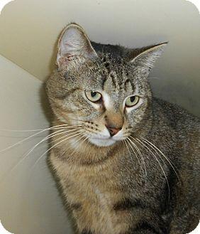 Domestic Shorthair Cat for adoption in Chesapeake, Virginia - Harvey