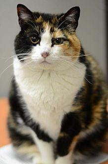 Domestic Mediumhair Cat for adoption in Atlanta, Georgia - Sabrina150695