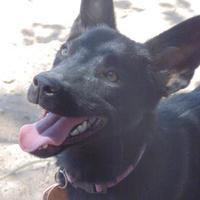 Adopt A Pet :: Cloe - Las Cruces, NM