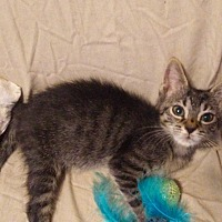 Domestic Shorthair Kitten for adoption in West Palm Beach, Florida - Polka Dot