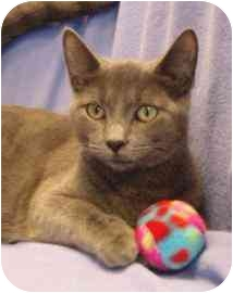 Domestic Shorthair Cat for adoption in Walker, Michigan - Laney