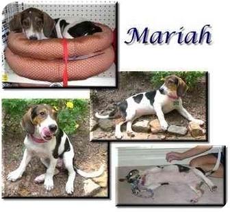Basset Hound/Treeing Walker Coonhound Mix Puppy for adoption in Marietta, Georgia - Mariah